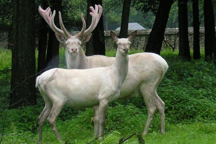 Dieses Bild vom Hirsch mit seinem Weibchen entstand im Juni 2012 im Wildgehege Moritzburg.