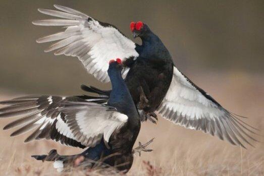 Naturschützer streiten weiter ums Birkhuhn