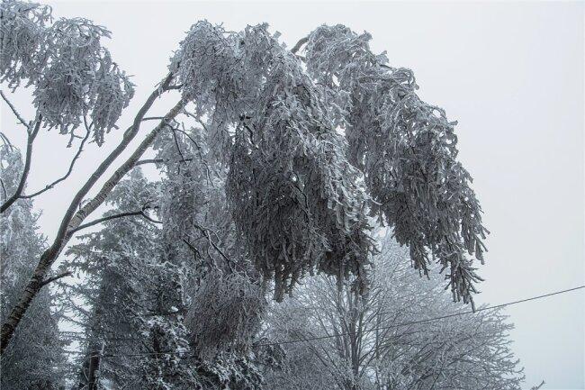 Bäume biegen sich unter der Last der Eispanzer.