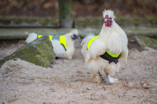 Die Rettungswesten sollen die Zwerghühner im Auer Zoo der Minis vor Krähenattacken schützen.
