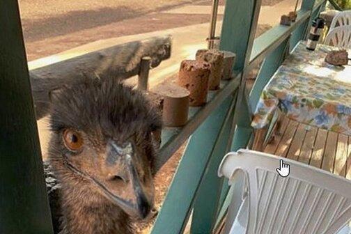 Inzwischen machten die zahmen Emus in Yaraka nicht mehr vor der Terrasse halt.
