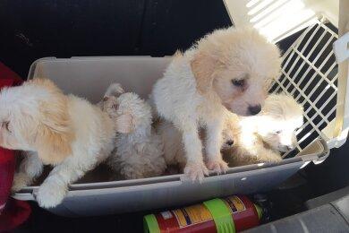 Die Hundewelpen saßen in einer Transportbox im Kofferraum.
