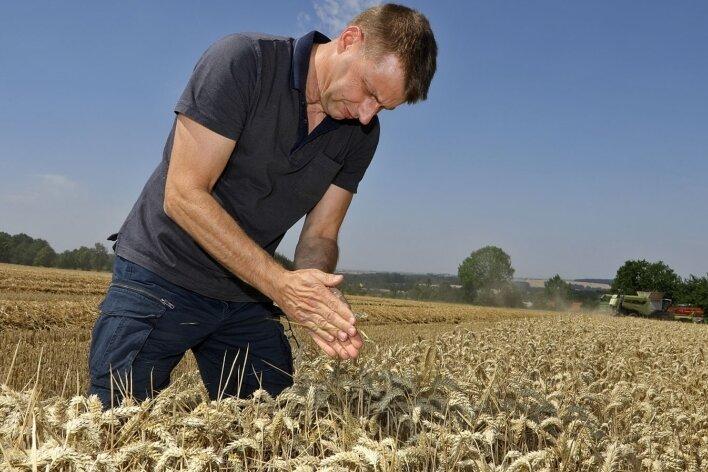 Rainer Stauch, Geschäftsführer der Agrargenossenschaft Langenchursdorf, prüft den Reifegrad des Getreides.