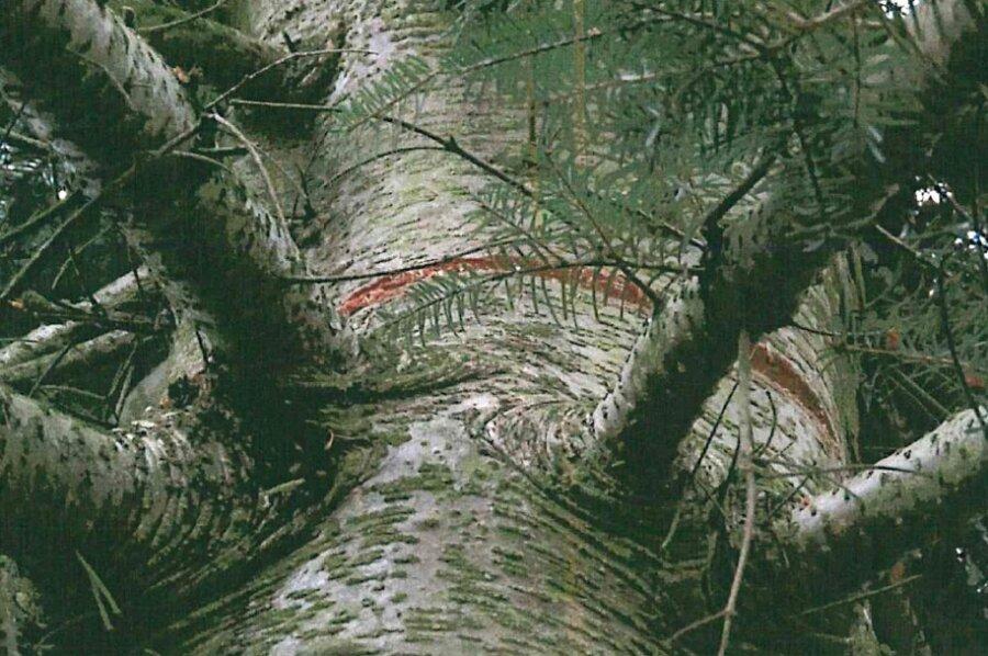 22 Bäume angesägt: In Kändler herrscht Entsetzen