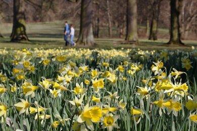 Ein beliebtes Fotomotiv ist in diesen Tagen die Narzissenwiese in der Nähe des Teehauses im Grünfelder Park.