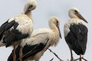 In Waldenburg hat es dieses Jahr erstmals mit Storchennachwuchs geklappt. Gleich drei Jungstörche sind herangewachsen.
