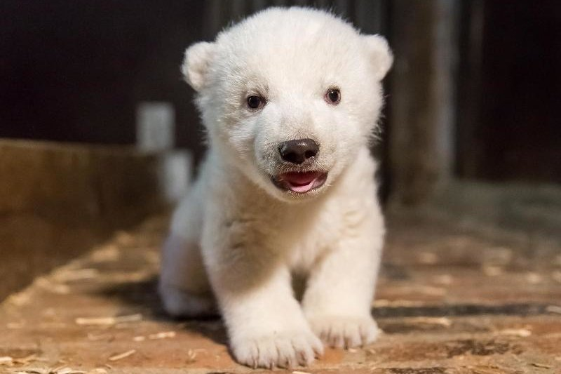 Eisbärenbaby Fritz tot