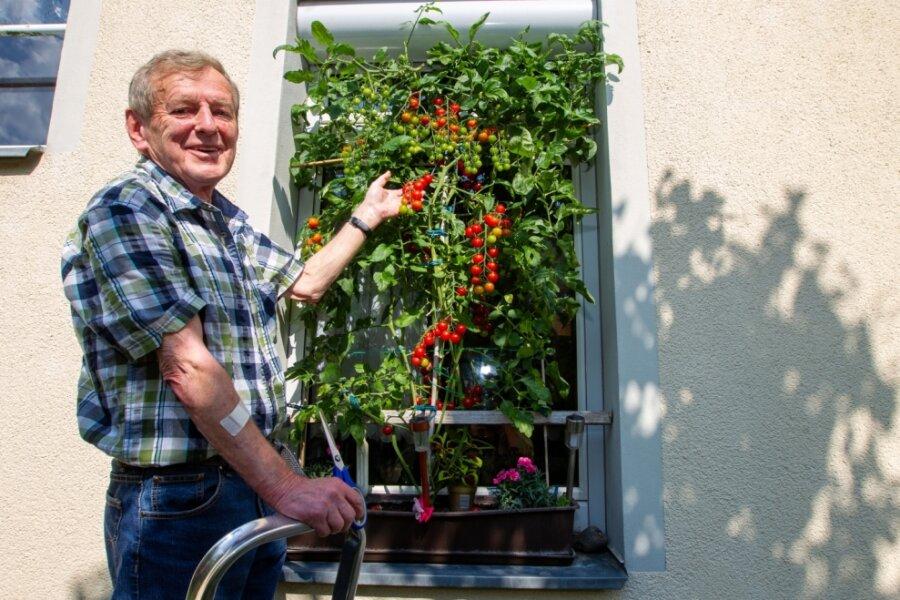 Tomaten gedeihen am Badfenster
