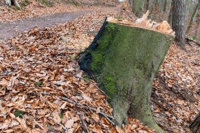 Im Zuge der Verkehrssicherungspflicht wurden an Wanderwegen im Rochlitzer Bergwald, hier zwischen Mordgrundbrücke und Rochlitz, Bäume gefällt.