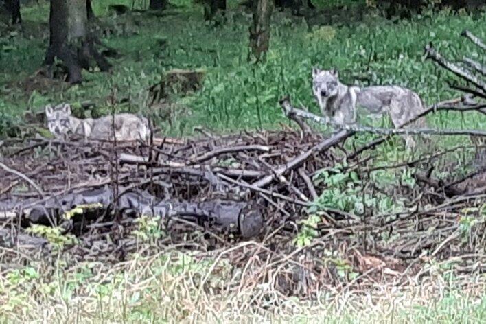 Fast fünf Minuten beobachteten die zwei Wolfshunde am Dienstagvormittag Sandra und Marleen Schramm aus nur kurzer Distanz.
