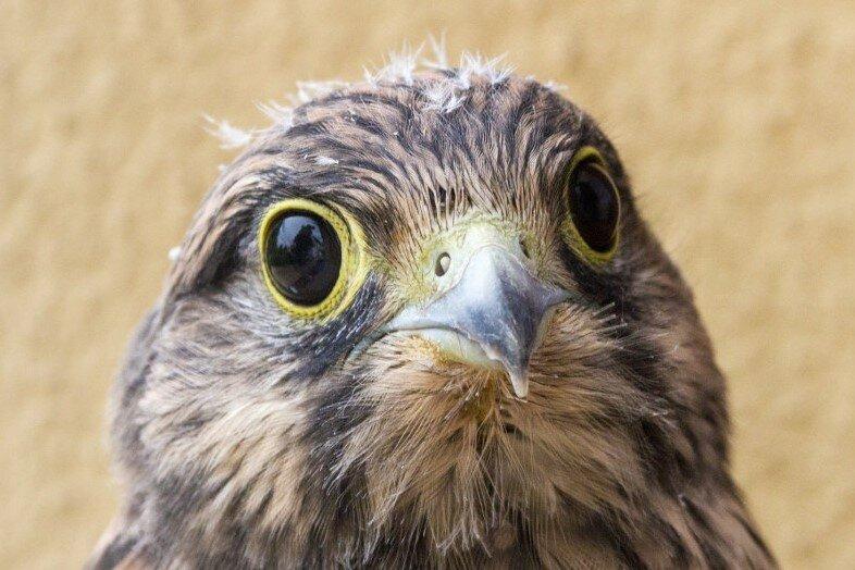 Nummer zwei: Dieses junge Turmfalken-Weibchen, das noch Flaum am Kopf hat, retteten Anwohner des Theaterviertels.