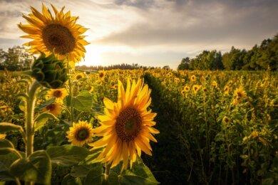 Traumhaft: Ein Sonnenblumenfeld bei Oberschöna im Sonnenuntergang.
