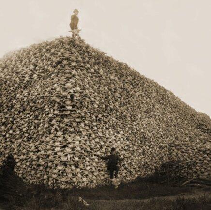 Abertausende Bisonschädel, aufgestapelt Anfang der 1890er-Jahre zur industriellen Verwertung in einer Leimfabrik in Detroit. Das systematische Abschlachten der Millionen Tiere umfassenden Bisonherden durch zugewanderte Siedler ab 1870 in den USA entzog den Ureinwohnern ihre wichtigste Lebensgrundlage.