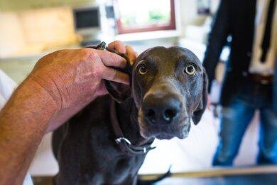 Hunde durchlaufen eine Coronainfektion nahezu symptomfrei, ergab eine Umfrage, hier ein Symbolbild der Rasse Weimaraner.