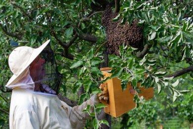 Imker Gerald Schumann stellt einen Bienenschwarm sicher, der sich in einem Apfelbaum der Gartenanlage Poppenmühle niedergelassen hatte. Mit den Ausreißern hatte er dann bis Sonntag zu tun.