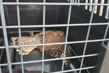 Nachdem der verletzte Greifvogel am Boden in Sicherheit war, wurde er einem Vertreter der unteren Naturschutzbehörde übergeben.