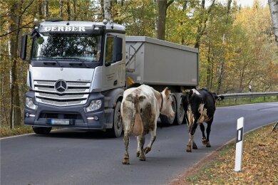 So ein Herbstspaziergang zweier Milchkühe - hier zwischen Waldenburg und Remse - ist schon mal ein Fall für die Polizei. Aber 2020 ging es durchaus noch skurriler zu.