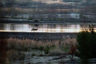 Ein einsamer Wolf streift durch die Morgendämmerung. Viele Menschen finden die Rückkehr des Raubtiers faszinierend - anderen macht sie Angst.