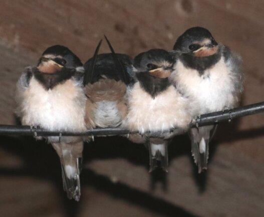 Noch lassen sich diese jungen Schwalben von ihren Eltern füttern. Bald gehen sie selbstständig auf Nahrungssuche.
