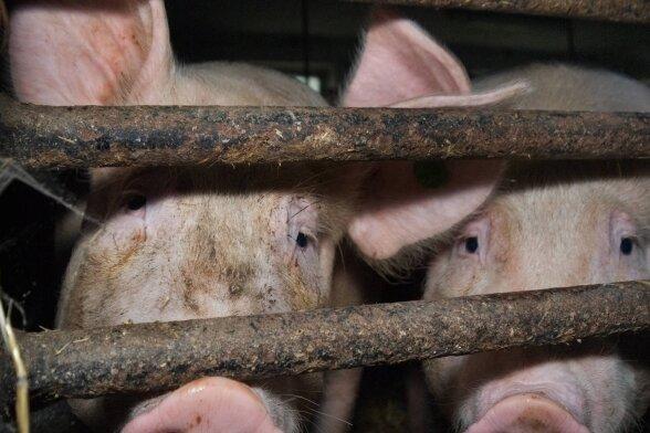 Um ein Auftreten der Seuche früh zu erkennen, bietet der Landkreis Mittelsachsen Tierhaltern unter anderem an, an einem Überwachungsprogramm teilzunehmen.