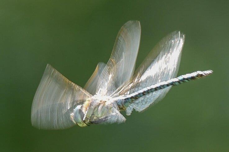 Eine blaugrüne Mosaikjungfer - eine Libellenart - hat Insektenzähler Joachim Röder bei der Nabu-Zählaktion in Herrenhaide beobachtet.