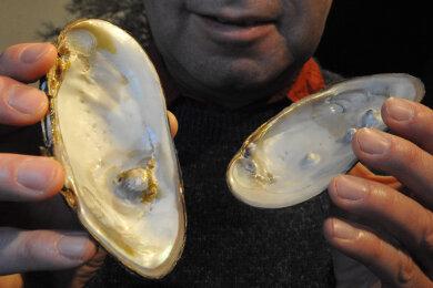 Museumsleiter Steffen Dietz zeigt im Bild erstmals vogtländische Muschelschalen mit Perlenbildung.