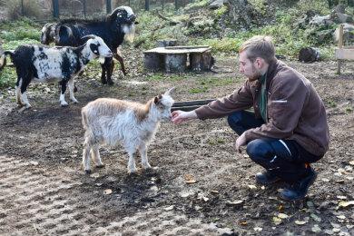 Tierpfleger Philipp Hans im Amerika-Tierpark in Limbach-Oberfrohna. Weil die Einrichtung geschlossen ist, versuchen er und seine Kollegen den Tieren wie etwa den Ziegen die Streicheleinheiten zu geben, die sie sonst von den Besuchern bekommen würden.