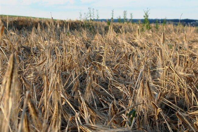 So sieht es aus, wenn heftiger Regen und Wind über die reifen Felder toben: Das Getreide, im Bild ein Gerstenfeld in der Nähe von Theuma, liegt am Boden. Ernteverluste sind programmiert.