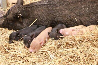 """Sechs Ferkel hat Schwein """"Bärbel"""" geworfen."""