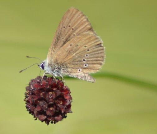 Ein Dunkler Wiesenknopf-Ameisenbläuling auf einem Großen Wiesenknopf. Typisch sind die zimtbraunen Flügelunterseiten mit nur einer Reihe schwarzer, weiß umrandeter Flecken.