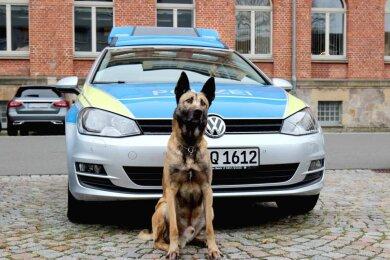 Polizeihund Pepe erschnupperte in Hartha mehrere Drogenverstecke in einer Wohnung.