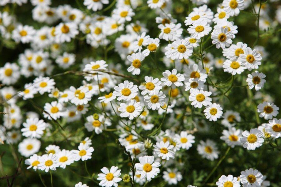 Schwarzenberger Edelweiß überzieht Totenstein mit Blüten