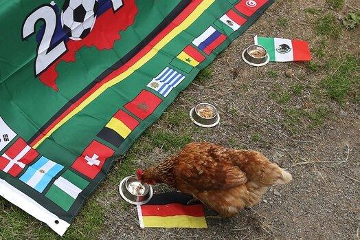 Huhn Gageleia ist zielstrebig zu dem Napf mit der Deutschlandflagge gelaufen.