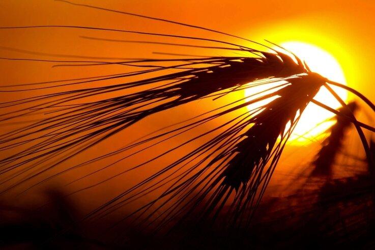 Belastetes Korn, belastete Backwaren. Ab wann das gesundheitlich gefährlich ist, ist umstritten.