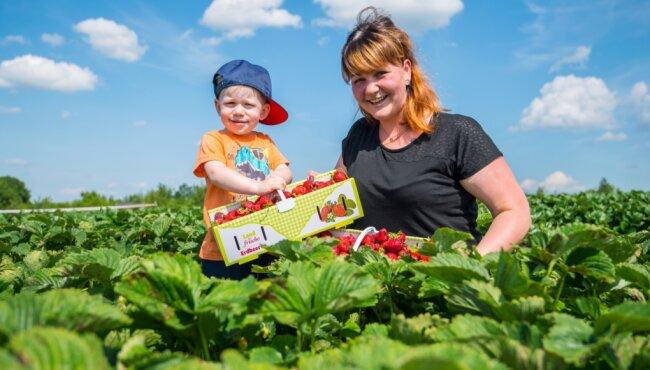 Für den zweijährigen Oskar aus Oberpfannenstiel wie ein Abenteuerspielplatz: das Erdbeerfeld in Raum. Gemeinsam mit Mutter Isabel füllt er den Sammelkorb.
