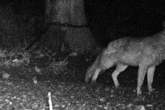 Fotofallen sollen den Wolf nachweisen