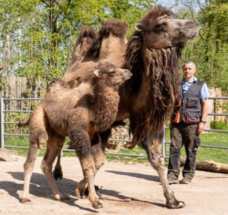 Kamelfohlen Bernd - hier mit Mutter Wanda und Falkensteins Tiergarten-Chef Michael Gottschald - hat am 14. März das Licht der Welt erblickt und zeigt sich nun erstmals den Besuchern. Benannt wurde der Kleine nach einem Mitarbeiter, der kürzlich in Ruhestand ging.