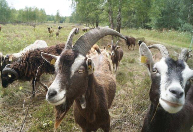 Ziegen und Schafe beweiden jetzt die frühere Schießanlage Weißbach. Sie tragen dazu bei, die wertvolle Landschaft auf dem Areal nahe Schneeberg langfristig zu erhalten.
