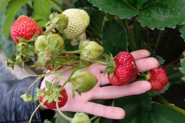 Erdbeeren gelten als eine der klassischen Gartenpflanzen. In diesem Jahr gibt es besonders viele von ihnen.
