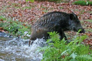 Das Wildschwein schaffte es selbst aus dem Teich.