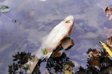 Ein toter Fische im Gondelteich Kleinfriesen: Vor der beabsichtigten Karpfenernte gab es offenbar eine Kommunikationspanne.