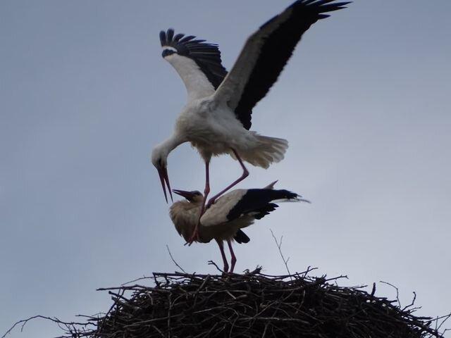 Storchenpaar zurück in Kirchberg