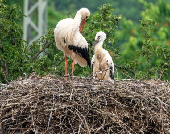 Das Jungtier (rechts im Bild) lässt sich von einem Altvogel füttern. Neben dem Horst in Penna gibt es auch andernorts im Landkreis Störche, die ihren Nachwuchs versorgen.