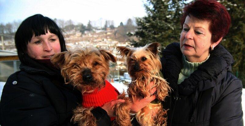 """<p class=""""artikelinhalt"""">Seit elf Tagen wird die Yorkshire-Terrier-Dame Börnchen (rechts) in der Tierauffangstation betreut. Seit Freitagabend wird nun auch der fast verhungerte Rüde (im roten Leibchen) aufgepäppelt. Er wird Börni genannt und von Christine Grzelka (r.) und Evelyn Hackbeil versorgt. </p>"""