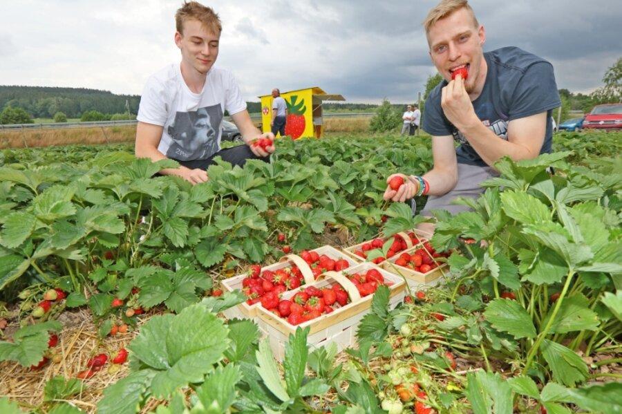 Jonas Ludwig aus Rottmannsdorf und Jonathan Eichin aus Zwickau haben sich am Dienstagnachmittag ihre Körbe auf dem Feld von Erdbeeren-Funck in Hirschfeld mit Früchten gefüllt und einige gleich genascht.