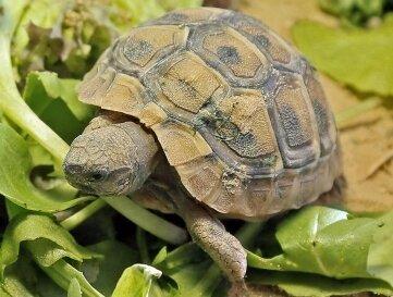 Eine solche Schildkröte wurde gefunden.
