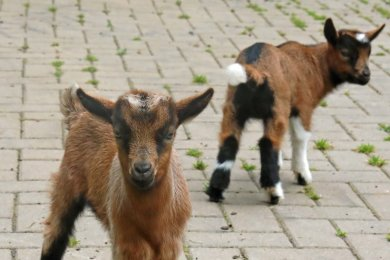 Die Jüngsten bei den Zwergziegen sind drei Wochen alt.