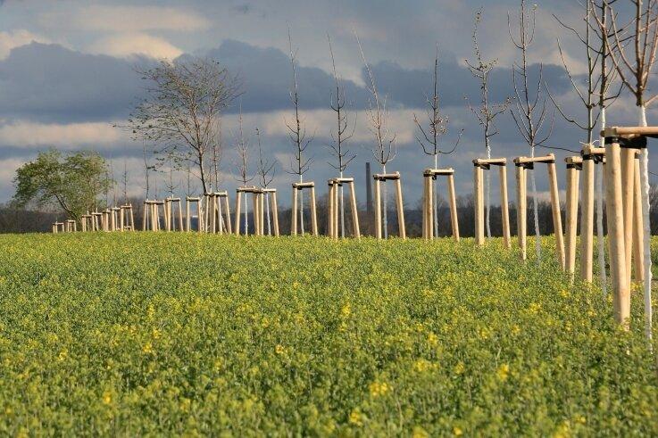 Diese Neupflanzungen am Pölbitzer Weg sind als Ersatz für das gefällte Grün an der Thurmer Straße in Zwickau in den Boden gekommen.