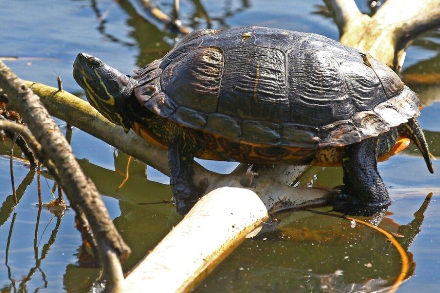 Rotwangen-Schmuckschildkröten wie diese fressen die Gelege der Wasservögel.