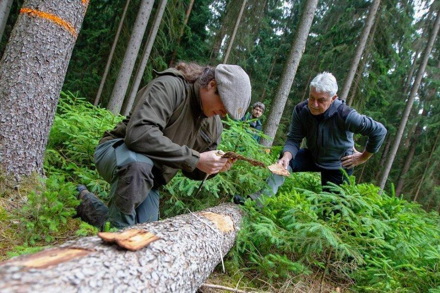 Forstwirtschaftsstudent Martin Größel (links) und Ruheständler Klaus Schür auf der Suche nach Borkenkäfern zwischen Tobertitz und Rößnitz. Revierförster Eric Specht (im Hintergrund) ist dankbar für die Hilfe.